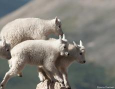 Cabras en equilibrio